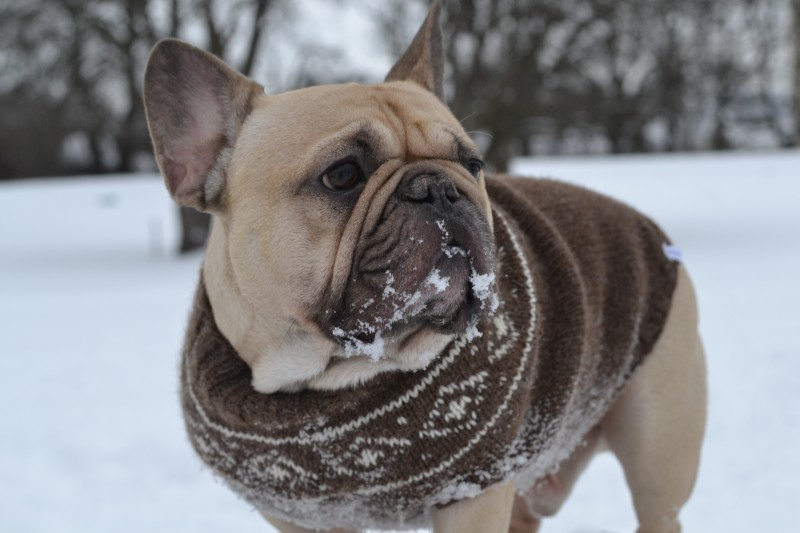 Hold hunden din varm i sprengkulda